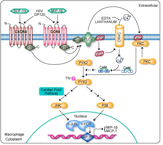 GeneCopoeia: CCR5 Signaling Pa...