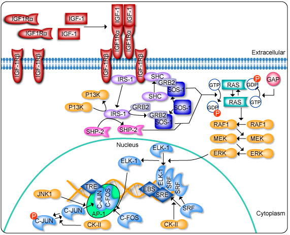 map kinase with H Igf1pathway on Full additionally Pattern Recognition Receptors additionally Fig1 likewise Spip moreover Watch.