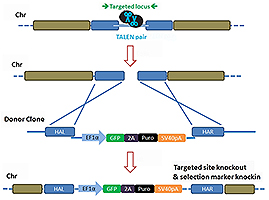 TALEN-mediated_gene_knockout_B-m