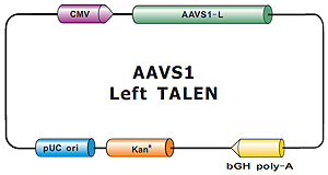 AAVS1_Left_TALEN-m