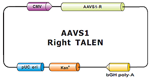 AAVS1_Right_TALEN-m