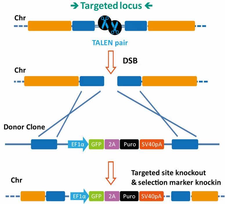 TALEN-mediated_gene_knockout_B-m