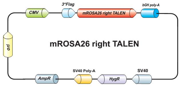 mROSA26-right-talen