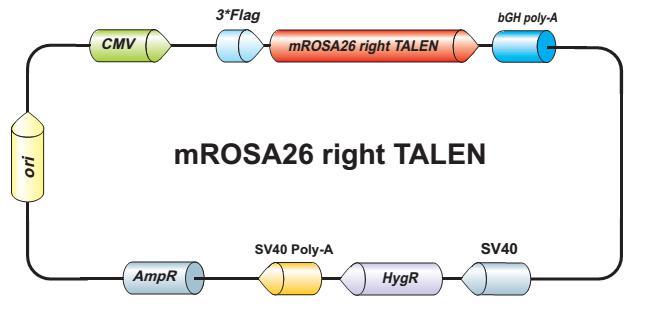 mROSA26-right-talen