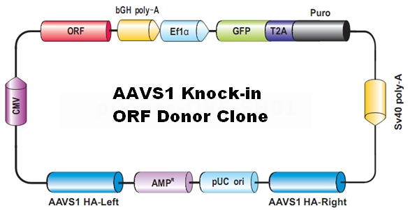 AAVS1_Donor_clone-m