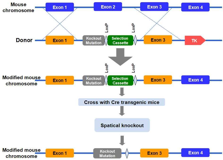 转基因小鼠服务 | 易锦生物