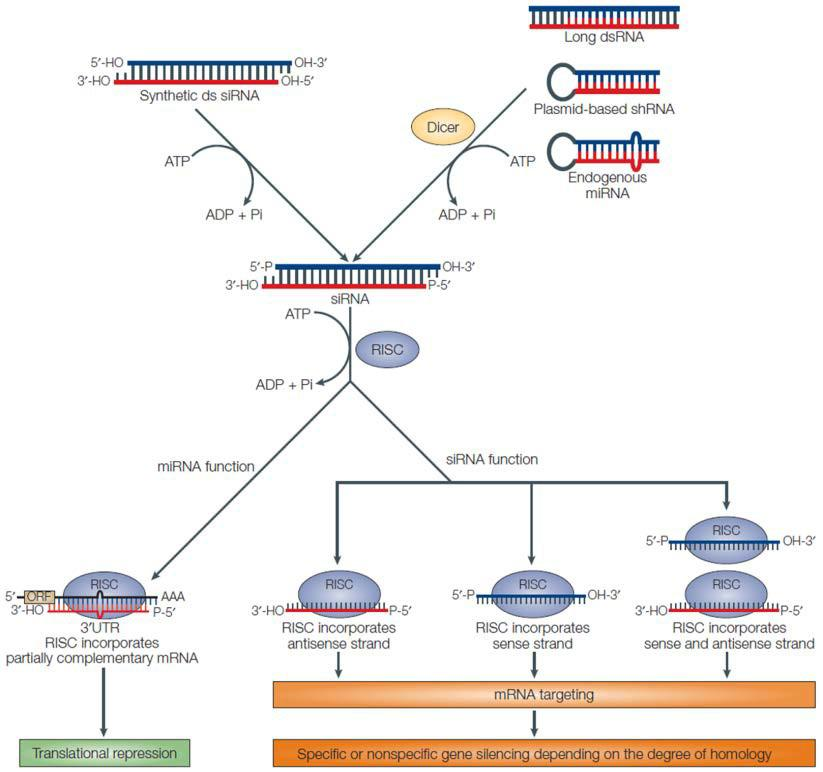 rnai screening and gene knockdown Rnai-mediated knockdown of protein rnai enables knockdown of single genes and screening for specific cellular processes rao a (2009) rnai screening.
