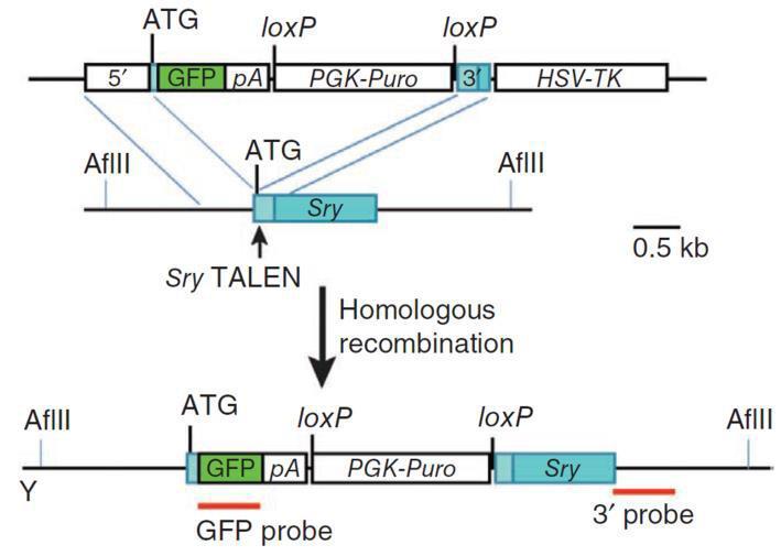 TALEN-mediated_gene_knockout_A-m
