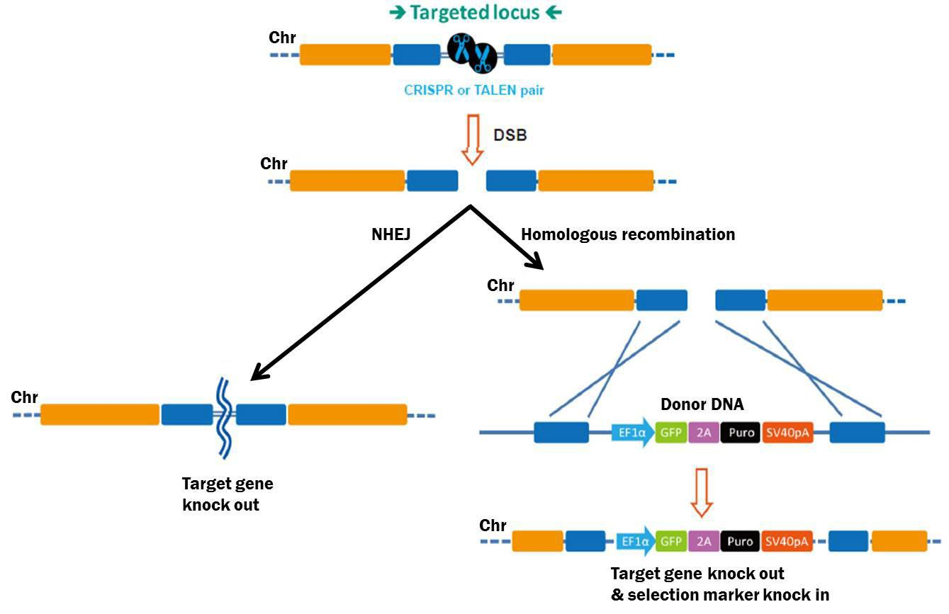 Pathways for repair of DSBs induced