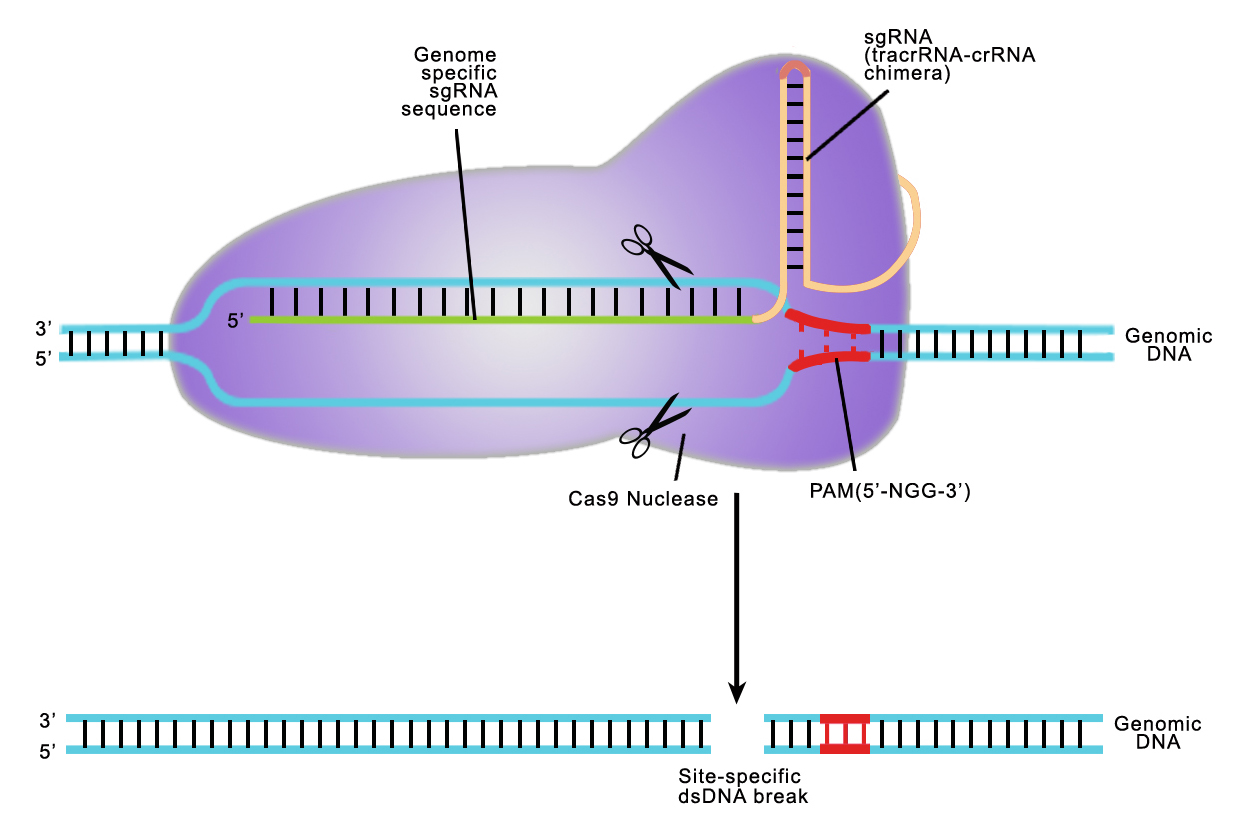 Illustration-of-CRISPR_Cas9-mediated-genome-editing
