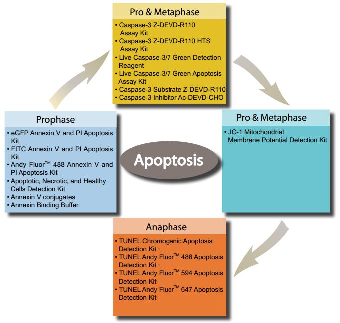 Cell Apoptosis Assays Caspase Activity Assays Genecopoeia
