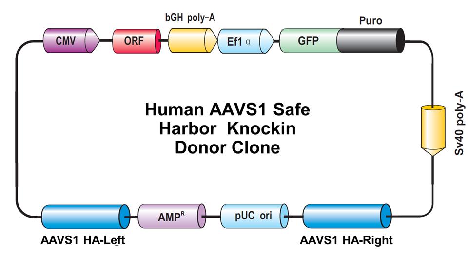 Safe Harbor Gene Knock In Kits And Clones Genecopoeia