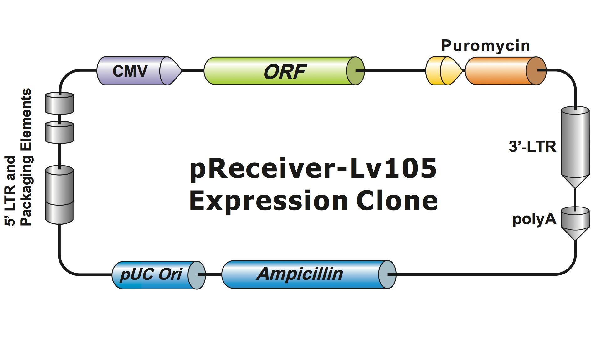Figure 1 Example Of A GeneCopoeia Lentiviral Expression Clone