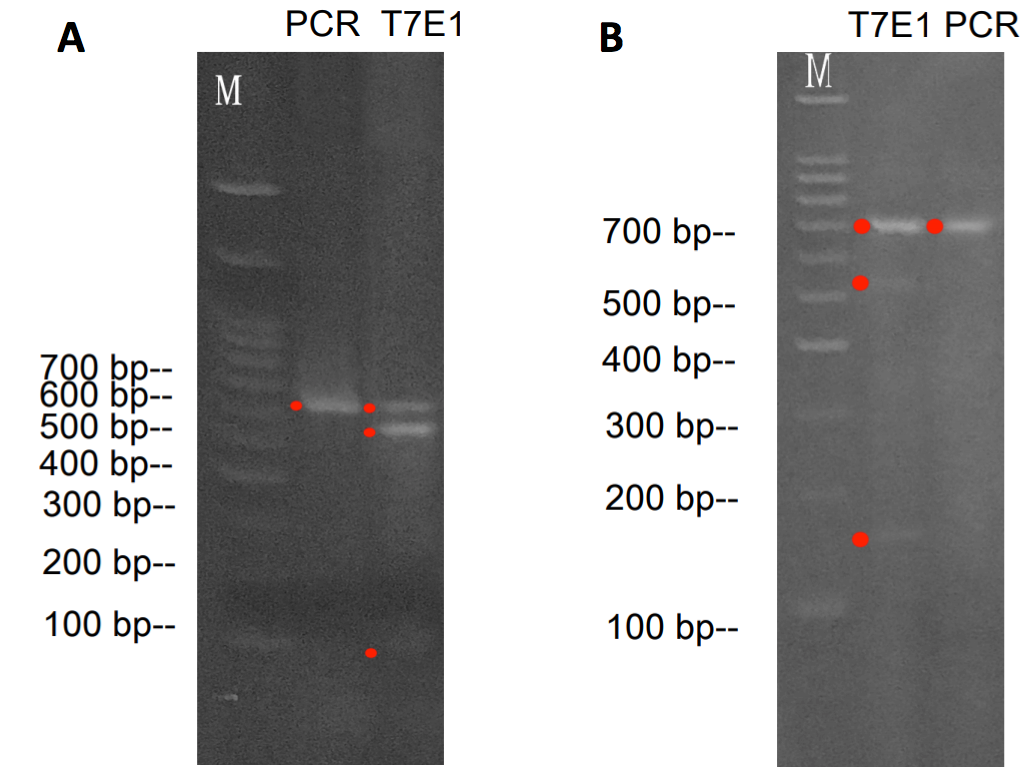 Validation by T7EI Assay
