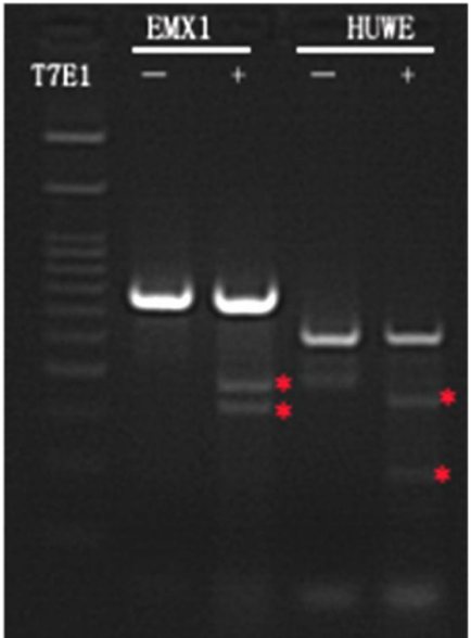Cas9 cell line validation by T7 endonuclease I assay