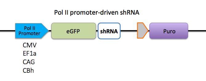 pol II promoter-driven shRNA
