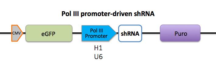 pol III promoter-driven shRNA