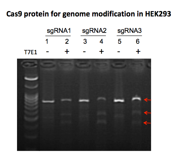 Cas9 nuclease genome modification in HEK293 cells