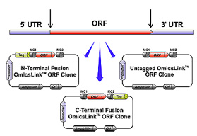 Genome-wide human and mouse expression-ready ORF cDNA clones with N-terminal, C-terminal fusion tags or un-tagged.