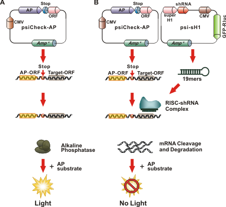 Validation of shRNA against human kinome members