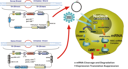 shrna plasmids knockdown
